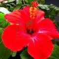 Floare de hibiskus bio