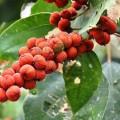 Fructe de Kamala