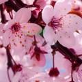 Flori de cireș BIO
