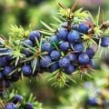 Ulei esențial de ienupăr (juniperus communis)