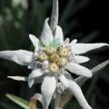 Extract din flori de munte
