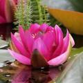 Extract din flori de nufăr BIO