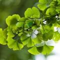 Extract din frunze de ginko biloba