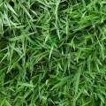 Extract de nutgrass