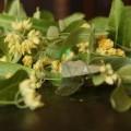 Floare de tei naturală