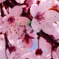 Extract din flori de cireș