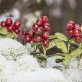 Snow Cladonia