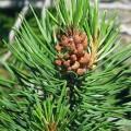 Ulei de pin organic