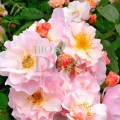 Ulei pur de rosa mosqueta (trandafir sălbatic)