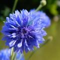 Lotiune micelara bio cu apa de albastrele si aloe vera AVRIL