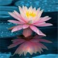 Extract din floare de lotus