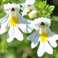 Floare-de-ochi naturală
