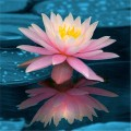 Extract natural din floare bio de lotus