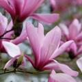 Balsam și parfumant ecologic pentru rufe cu magnolie