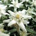 Floare de colț