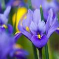 Floare de iris naturală