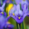Floare de iris bio